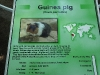 Edmonton Valley Zoo - Guinea Pigs