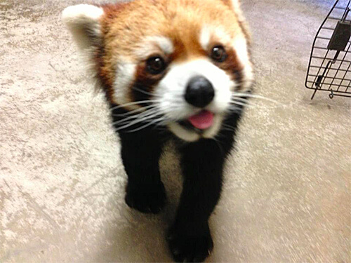 Behind-the-scenes with red panda Pip!