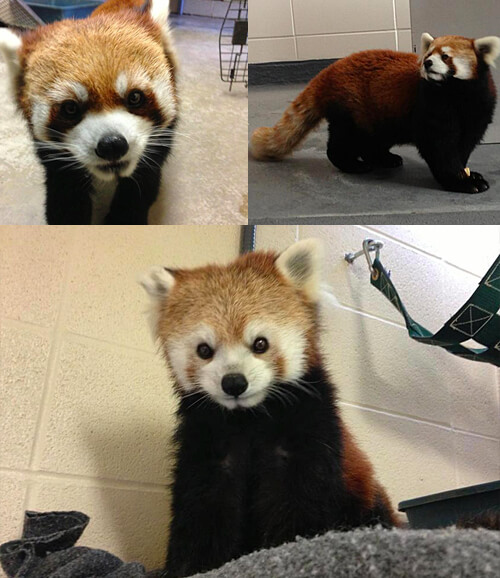 Pip, George and Lola - the red pandas!