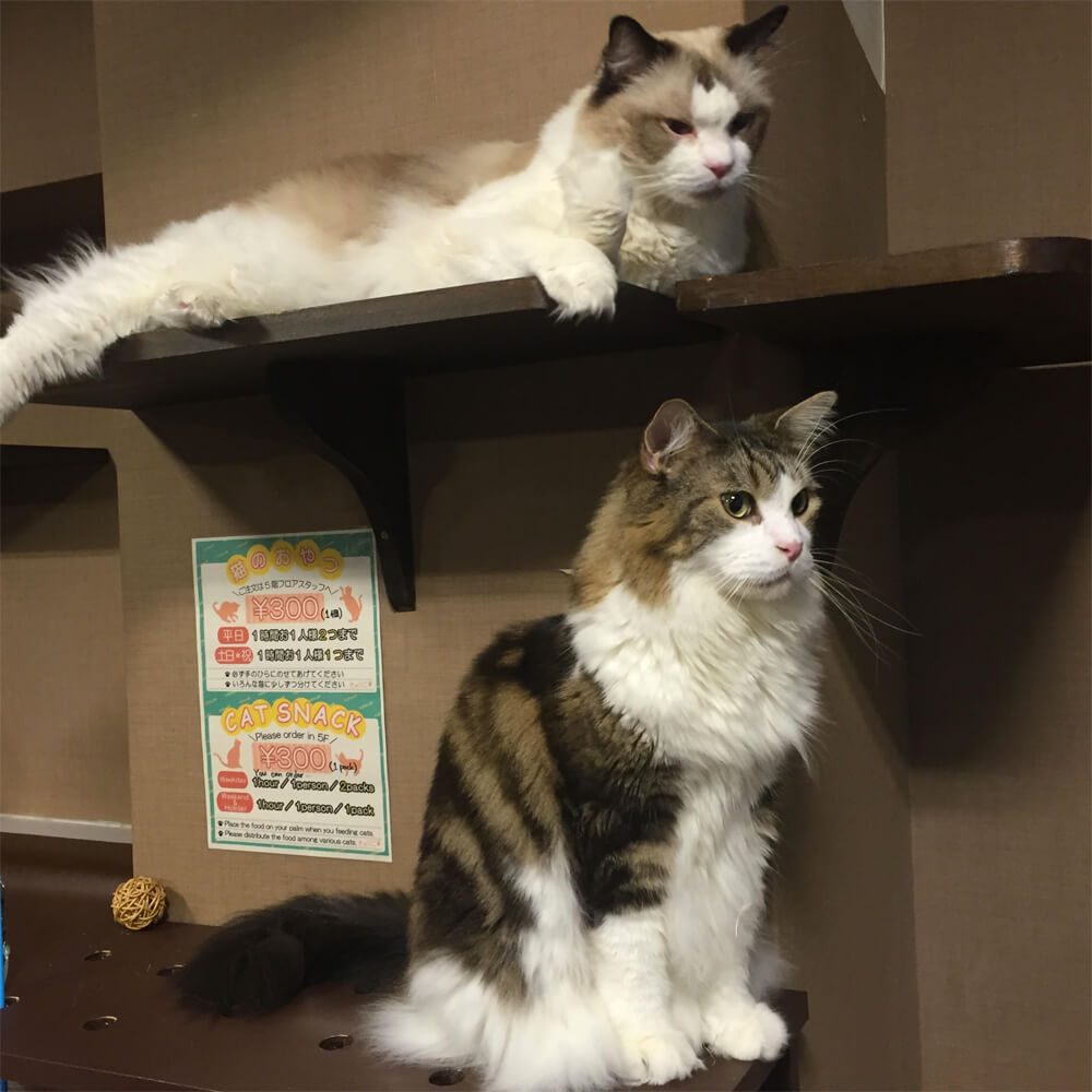 Cat Cafe Calico - Japan Cat Cafe Guide - Tokyo