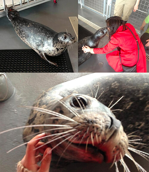 Hula the harbour seal being super affectionate (for food!)