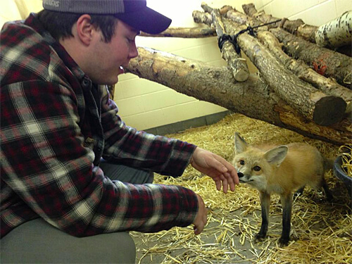 'Trouble' the red fox is a bit shy. But super cute.