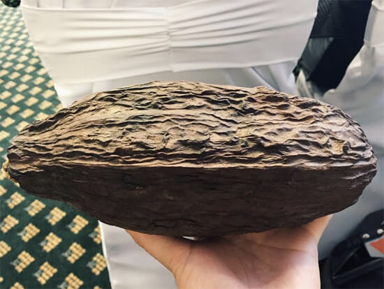 Real (dried) cocoa pod at JACEK Chocolate session.