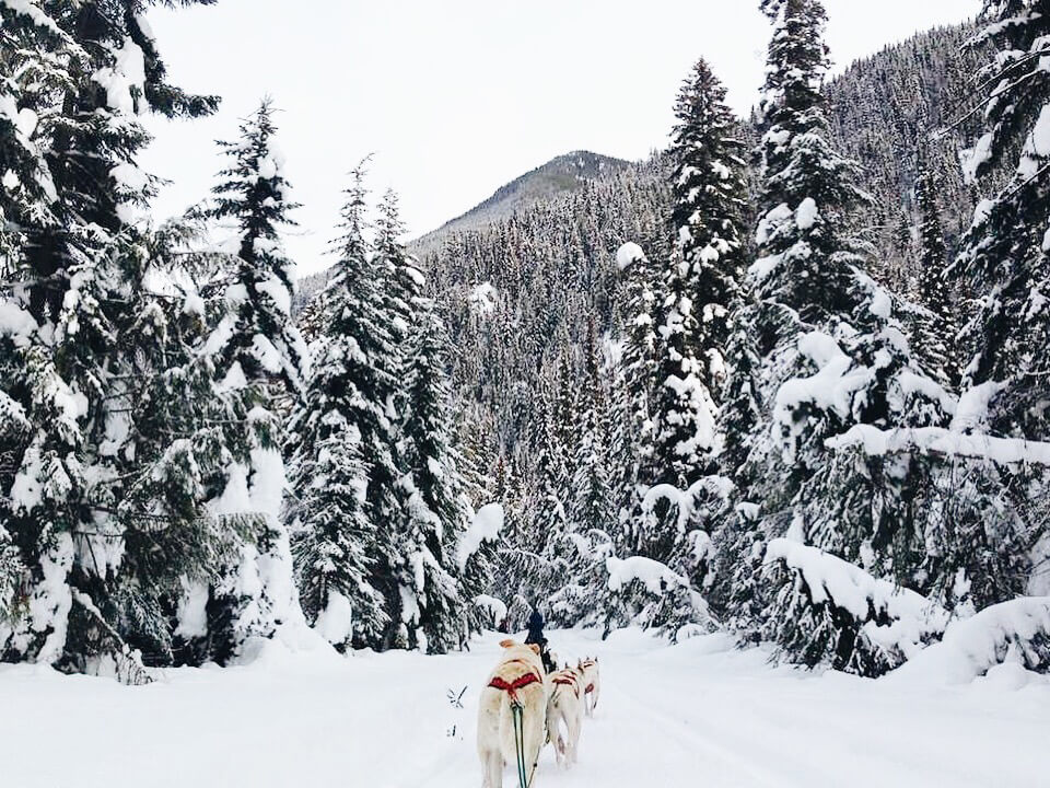 Cold Fire Creek Dogsledding Jasper Alberta Canada