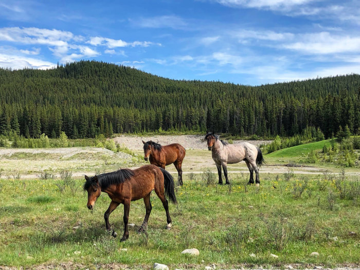 West Country Explore Alberta Town of Sundre Travel Guide Sunset Guiding and Backcountry Retreat Wild Horses