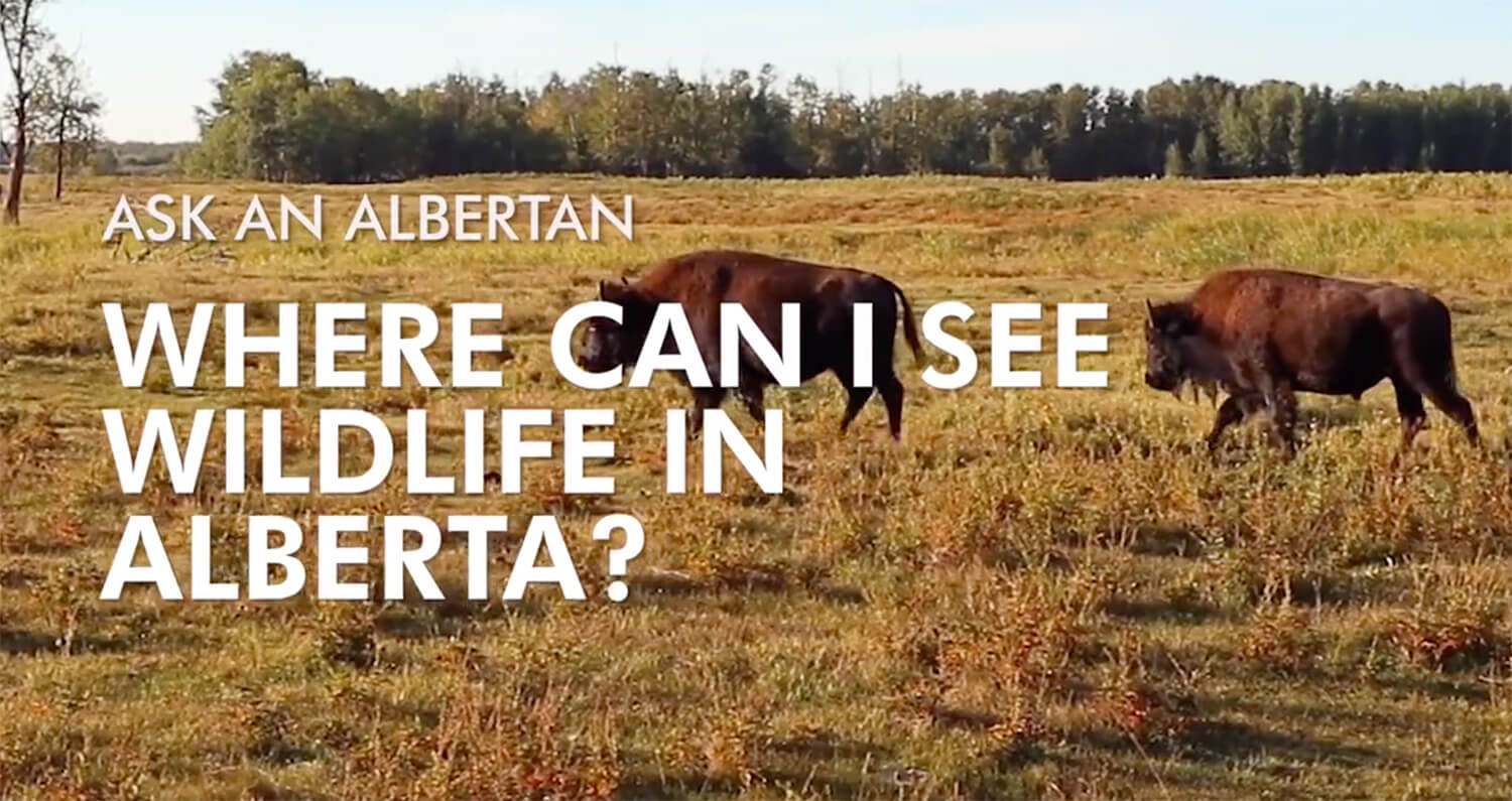 Ask an Albertan - Explore Alberta - Travel Alberta - Wildlife