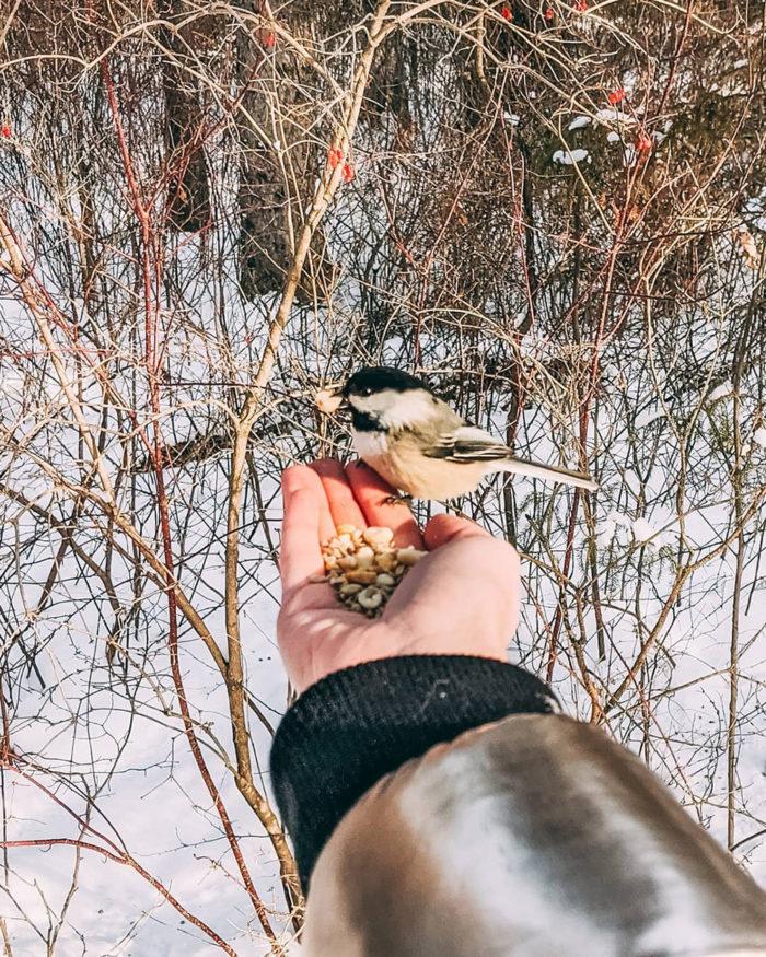 River Valley Whitemud Creek Ravine Chickadees Feed Birds - Explore Edmonton - Adventure - River Valley - Mandy Gommerud